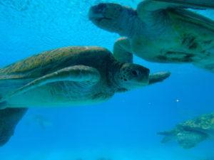 美ら海水族館ウミガメ