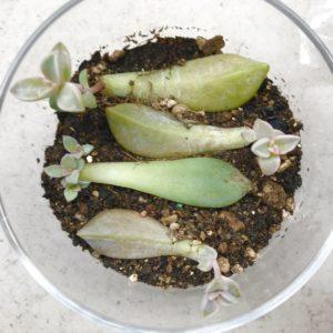 多肉植物葉刺し成長記録