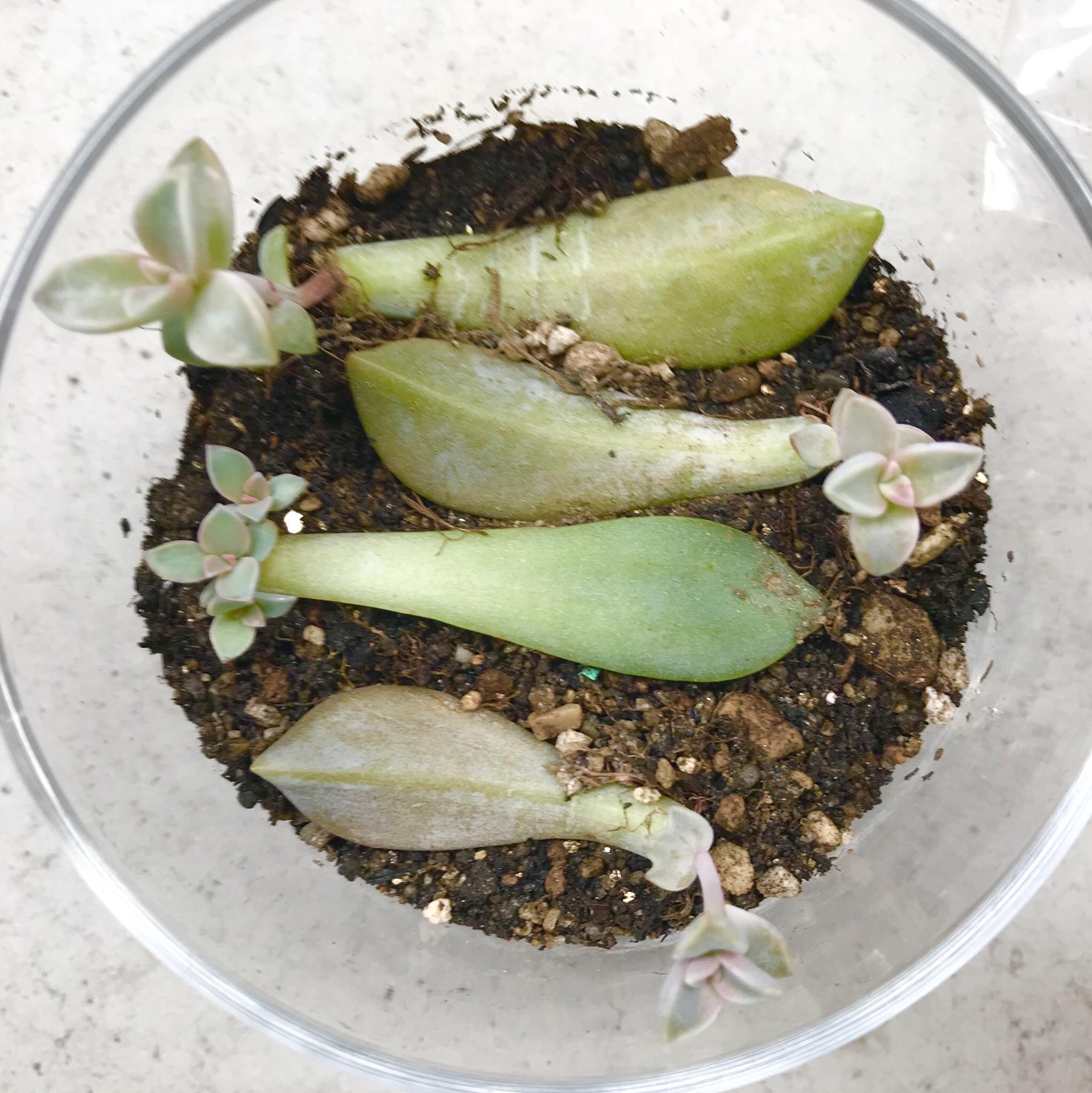 多肉植物葉挿し成長記録