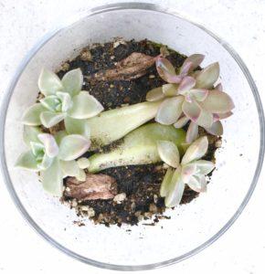 多肉植物6ヶ月目