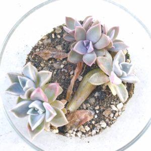 多肉植物7ヶ月